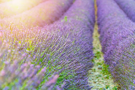 Closeup lavender field summer sunset landscape near Valensole, France