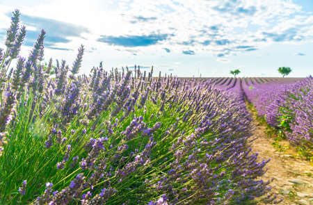 Closeup lavender field at sunset, lonely trees in Valensole Plateau, France. 版權商用圖片