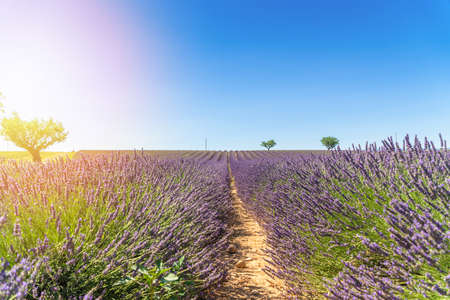 Lavender field at sunset, lonely trees in Valensole Plateau, Provence.