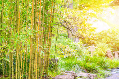 Bamboo Trees in Japanese Tea Garden with sunlight