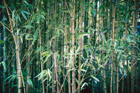 Bamboo Trees in Japanese Tea Garden