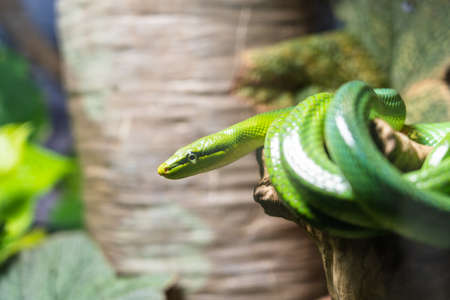Beautiful green snake on the branch.
