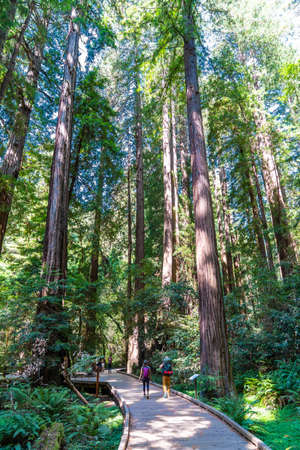 Hiking trails through giant redwoods in Muir forest near San Francisco, California, USA.