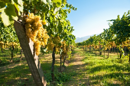 vine country: Green grapes ready for harvest in a italian vineyard