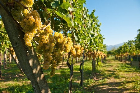 Green grapes ready for harvest in a italian vineyard  photo