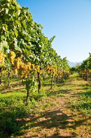 wineyard: Green grapes ready for harvest in a italian vineyard