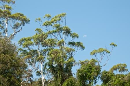 Australian gumtree