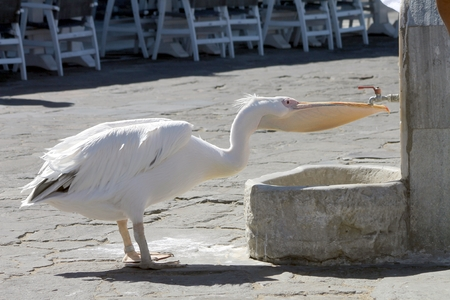 thirsty bird: Pelican at a drinking fountain