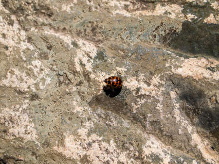 Red and black ladybug beetle specie on a rock. Buenos Aires, Argentina.