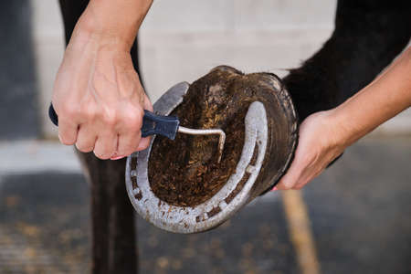 Detail of horse owner hands cleaning horse hoof with a hoof picker scraping off dust.