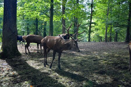 Deer stag in the forest