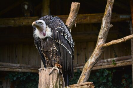 Hooded vulture - Necrosyrtes monachus Reklamní fotografie