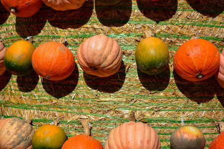 Greenish and yellowish and orange pumpkins in autumn
