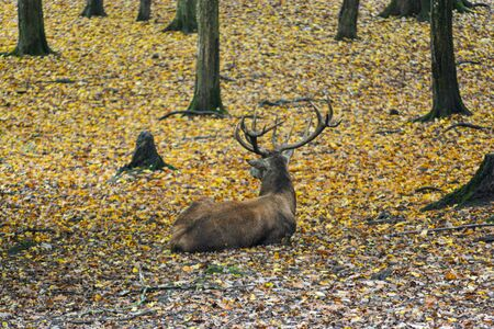 Brown stag sitting in the autumn forest near Freudental, South of Germany Stock Photo