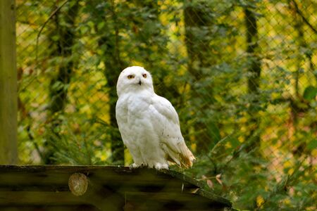 portrait of a young snow owl 写真素材