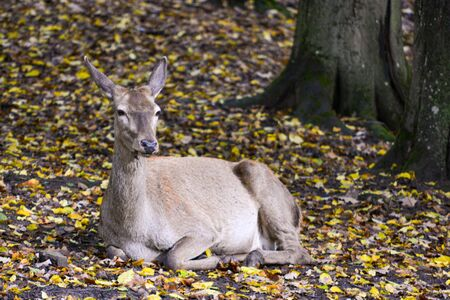 Red deer sitting in the autumn forest with leaves around 写真素材