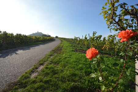 Vineyards and roses at sunset in autumn at Michaelsberg in Cleebronn, South of Germany