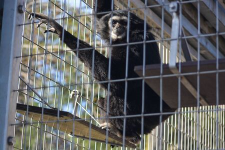 Cute young male Mahale Mountain Chimpanzee enjoys lunch and fun in the Los Angeles sun.