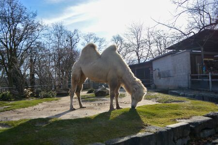 Three camels are in line. Camels at the zoo. named Wilhelma in the South of Germany