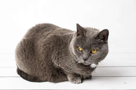 grey cat: Grey cat Chartreux Stock Photo