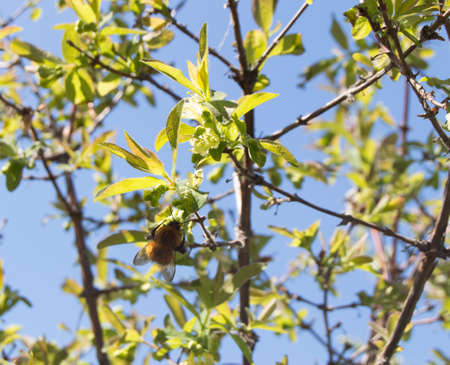 pollinators: Bumblebee sitting on a blossoming branch, blue sky background.