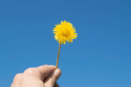 womans hand holds a yellow dandelion against the sky. Reklamní fotografie