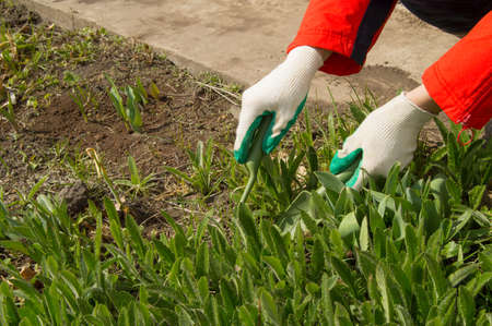 turba: Woman wearing gardening gloves holding a rake and shovel, caring for plants in garden