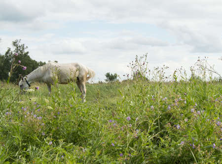 White horse grazing on a green summer pasture in the village.