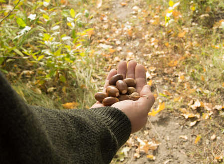white sheet: man holding in the palm of acorns that have fallen from oak in the background grass Stock Photo