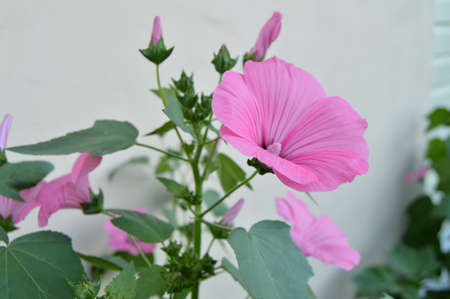 Beautiful pink mallow in the garden in summer. Stock Photo