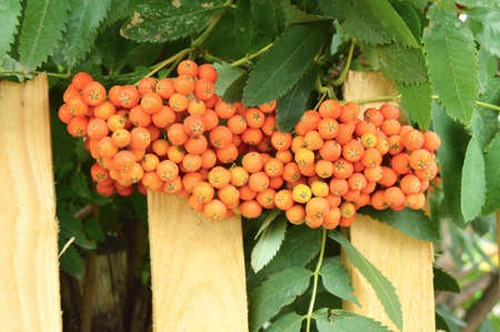 Red clusters of Rowan branch in the autumn garden.