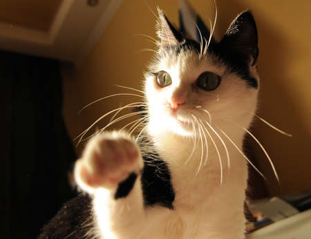Cute white black cat playing and holds out his paw Imagens