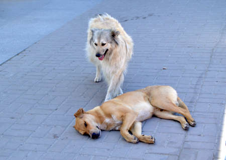 Two hungry stray dogs on the street in the city