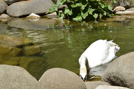 A lone white Swan drinking water at the lake