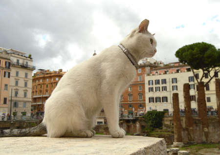 Cute white cat sitting on the square Largo di Torre Argentina. In the ancient Roman ruins on the site of the murder of Gaius Julius Caesar lives a lot of homeless cats