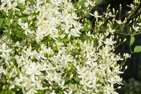 White Clematis flammula, summer floral background and sunlight Banque d'images