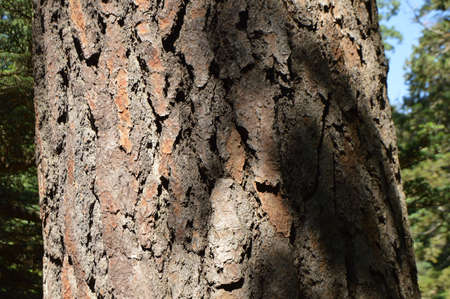 close-up of a pine trunk with dark bark on a Sunny summer day.