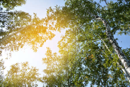 Sunlight shines through the crown of tall trees against the blue sky on a Sunny summer day. 免版税图像 - 122115882