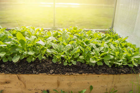 Young radish plants in the greenhouse, the concept of growing organic vegetables indoors all year round. Standard-Bild