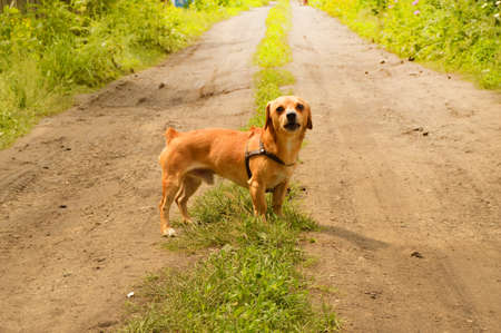 Little angry red dog stands on the road and looks aggressively, outdoors on a summer day.