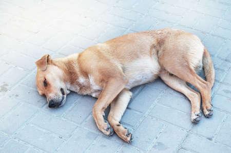 Sad homeless red dog lying alone on the sidewalk.