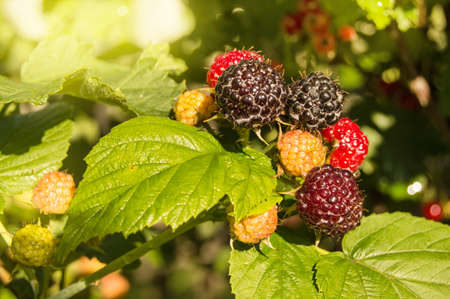 Ripe and immature blackberries on a Bush with selective focus, on a Sunny summer day in the garden, the concept of growing organic berries.