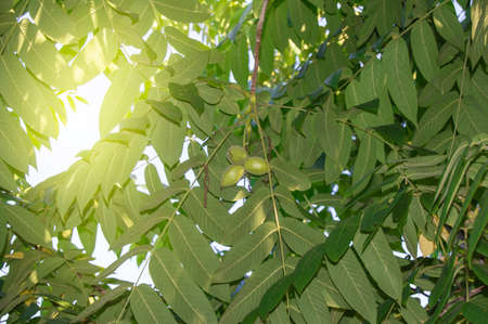 Manchurian walnut - Juglans mandshurica leaves with fruit on a background of sunlight coming through the crown of leaves, bottom view. Banco de Imagens