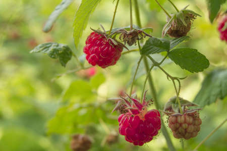 Ripe red raspberries on a twig with leaves on a green blurred background, the concept of the harvest of organic berries.