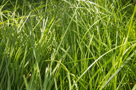 Fresh young green summer grass and sunlight, natural background. Фото со стока