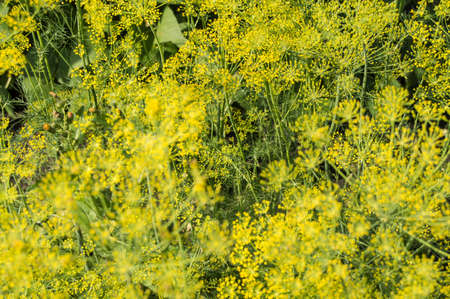 Natural background-flowering dill seeds, inflorescences umbrellas grow in the garden. Herbs and plants for cooking and medicine.