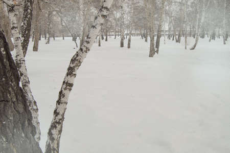 Bent birch trunk against the background of snow and trees in the winter Park, a copy of the space. Фото со стока