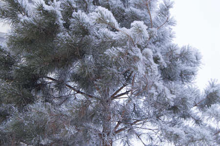 Pine tree branches in the foreground covered with snow and frost after a Blizzard, natural winter background, copy space.