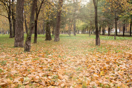 Colorful autumn, fallen yellow and orange leaves on the green grass around the dark old trees in the city Park. Фото со стока