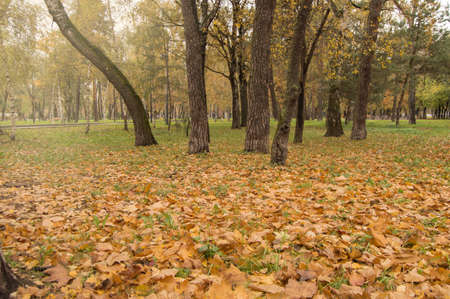 Colorful autumn, fallen yellow and orange leaves on the green grass around the dark old trees in the city Park. Stock Photo